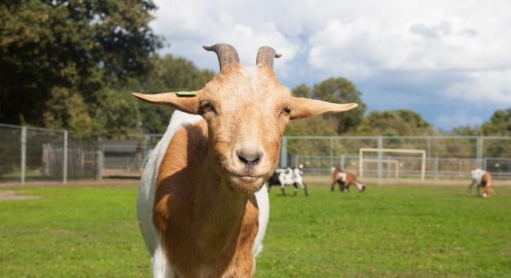 hooge-holt-kinderboerderij-geit